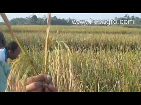 Bibit Jahe Merah Di Surabaya cara budidaya tanaman dengan pola hcs doovi