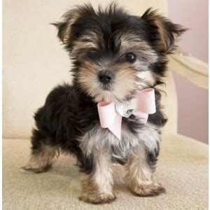 what is a morkie morkie puppy jpg