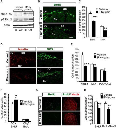 frontiers regulation of interferon gamma frontiers ifn gamma regulates proliferation and neuronal