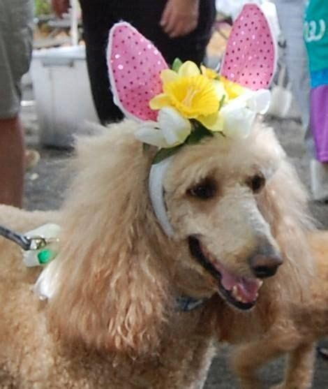 florida rescue 14 best images about florida poodle rescue on poodles reindeer and rescue