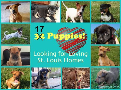 puppies st louis 32 puppies looking for st louis homes future expat