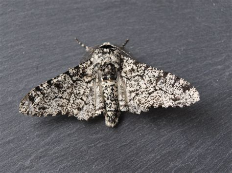 Peppered Moth ragged robin s nature notes peppered moths an exle