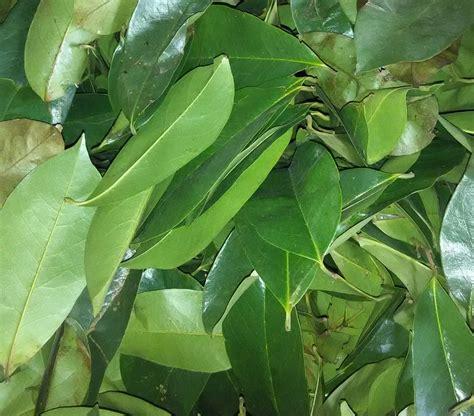 Jual Bibit Kambing Pontianak jual daun sirsak di pontianak jual bibit tanaman unggul