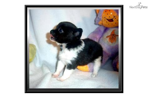 free puppies dothan al chihuahua picture 4540 breeds picture