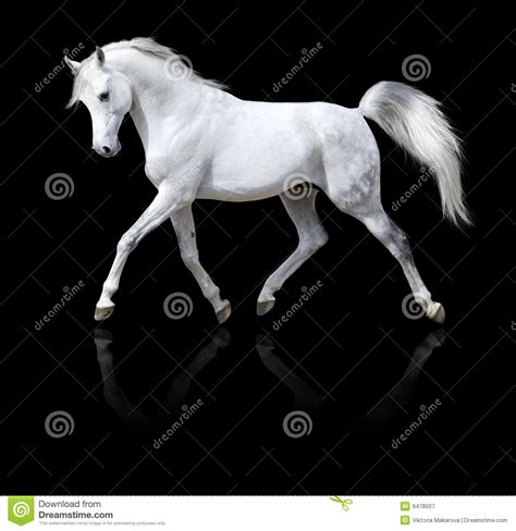 White Arabian Horse Run Isolated On Black Royalty Free ... Horse Background Clipart