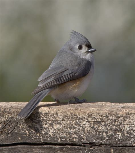 common backyard birds photo gallery tufted titmouse by bret goddard 187 watching