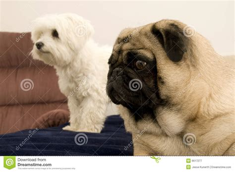 maltese and pug pug and maltese looking royalty free stock photography image 6617277