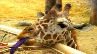 giraffe tongue color why do giraffes purple tongues