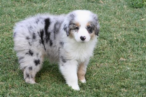 australian shepherd blue merle puppies blue merle 1 400 00 australian shepherds