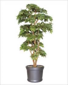 Rent ming aralia plants ming aralia plant rental from ambius