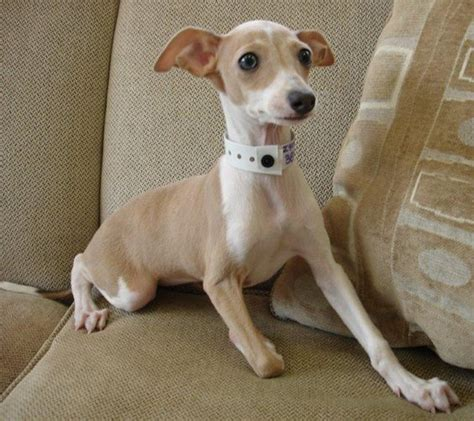 miniature italian greyhound puppies for sale italian greyhound italian greyhound puppies for sale new jersey puppies breeders