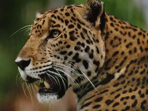 jaguar supercat big cat week gallery nat geo