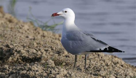 gabbiano specie gabbiano corso le specie protette gli uccelli in