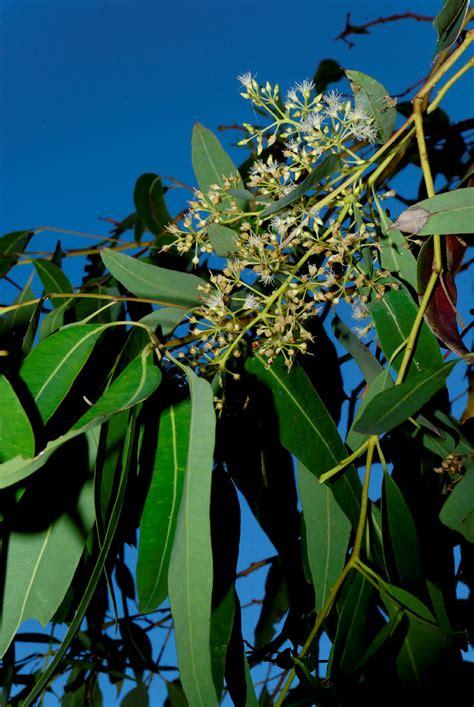 eucalyptus raveretiana   botanic gardens