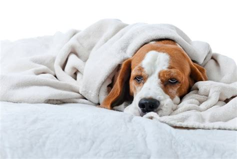puppy is lethargic 5 reasons your pet is lethargic and when to worry petmd