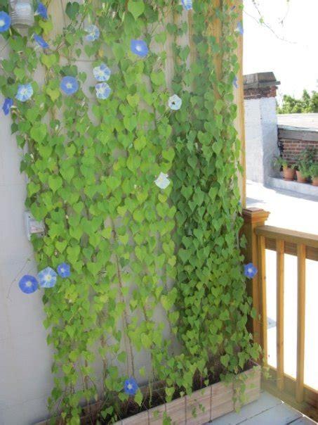 vines   Brooklyn Roof Garden