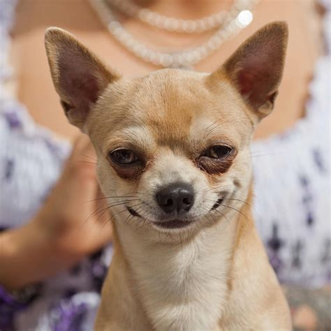chi puppy chihuahua breed 187 information pictures more