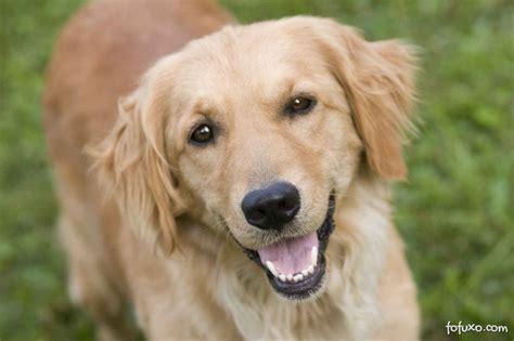 golden retriever apartamento golden retriever ra 231 as de cachorros