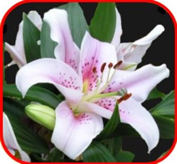 foto giglio fiore giglio purezza e castit 224 articoli da regalo originali