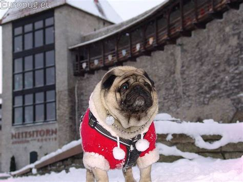 pug santa costume 17 best images about pugs on pugs a present and pug