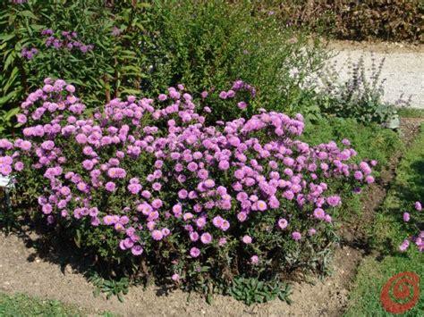 fiori da giardino autunnali le piante perenni in giardino 16 la potatura degli aster