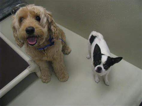 mini goldendoodle new jersey foster for mini goldendoodle needed asap in pa or nj