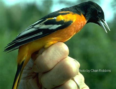 journey north oriole