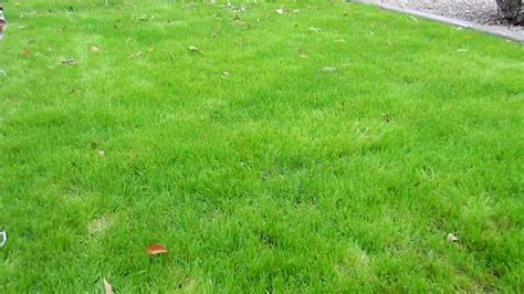 how to plant winter grass how to plant winter grass update one month after