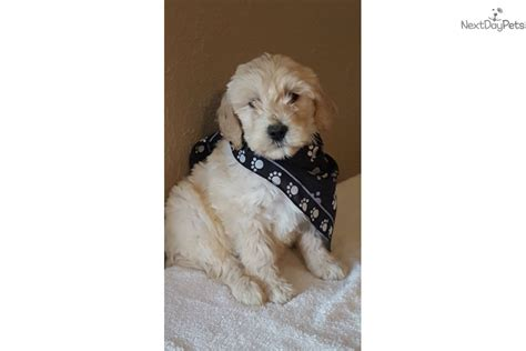 goldendoodle puppies for sale in houston tx goldendoodle puppy for sale near houston 398292c2