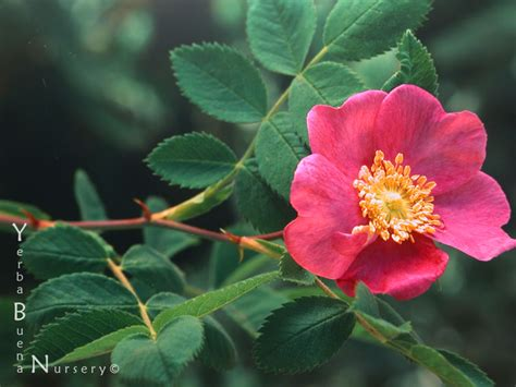 what do american in california rose for new year yerba buena nursery rosa californica california details description