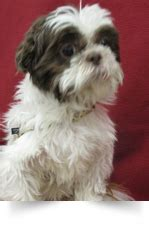 local shih tzu rescue strmn shih tzu rescue of minnesota