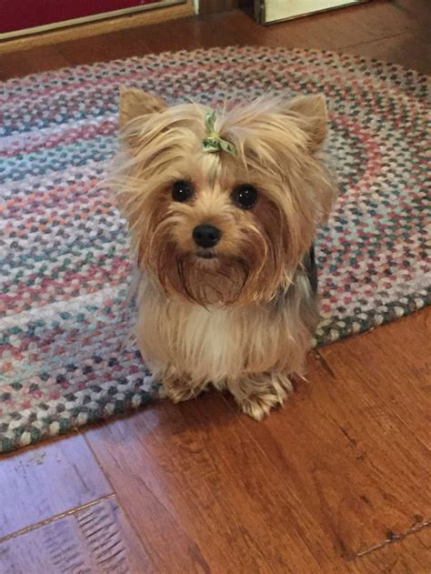 can yorkies eat peanut butter 156 best images about on terrier puppys and yorkie