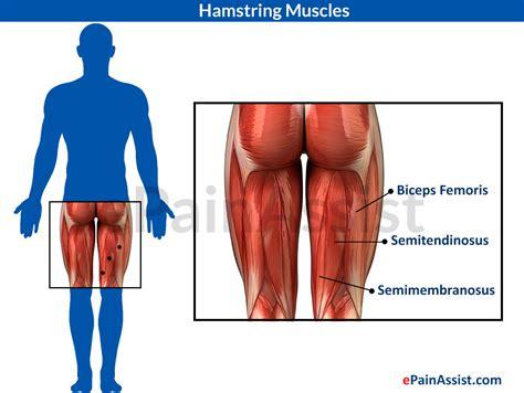 hamstring muscles diagram hamstring diagram human anatomy system