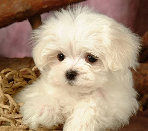 maltese breed maltese terrier puppy pictures and wallpapers maltese terrier