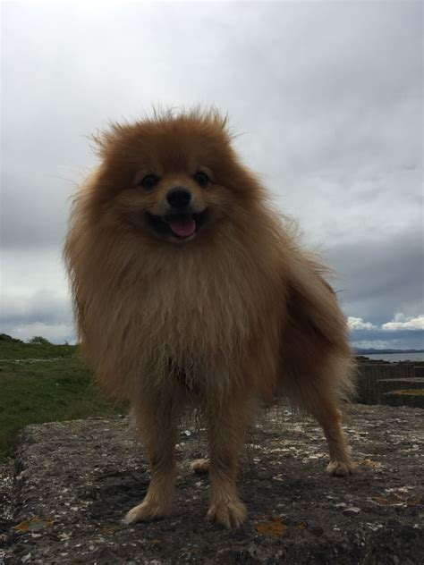 pomeranian pooch for sale pomeranian for sale edinburgh midlothian pets4homes