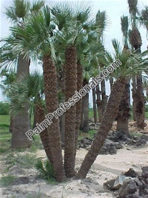 where to buy trees in houston mediterranean fan palm tree for sale in houston