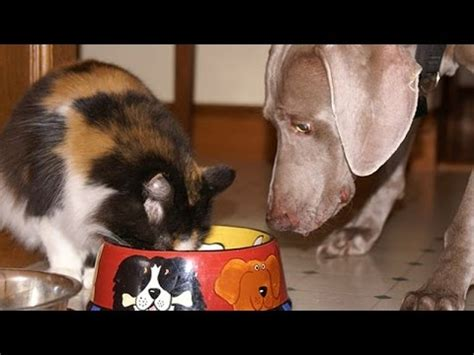 Cat And Dog5 Komik cats and dogs fighting for food cat compilation