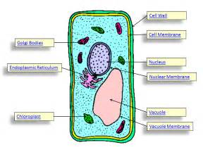 Of animal and plant cells below learn about animal and plant cells