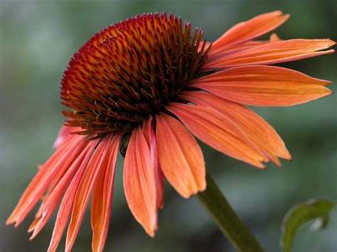 echinacea sundown 4205604 1600x1200 all for desktop
