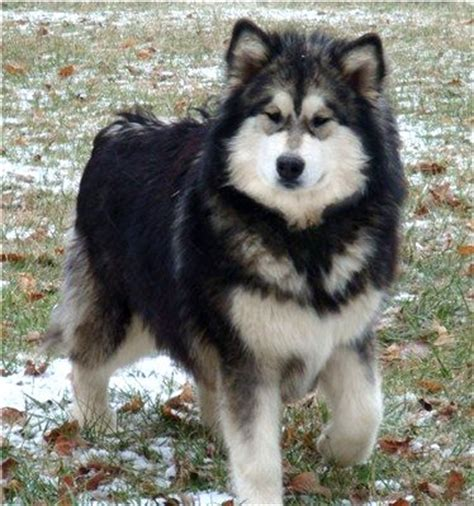 shih tzu siberian husky mix siberian husky malamute mix photo happy heaven
