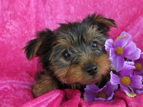 yorkie puppies for sale in northern kentucky 25 best ideas about terrier for sale on yorkie dogs for sale