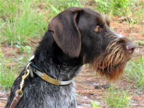drahthaar puppies for sale german wirehaired pointer puppies for sale
