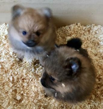 buy pomeranian uk pomeranian dogs and puppies rehome buy and sell in the uk and ireland preloved