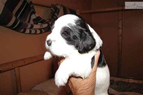 shih tzu puppies tucson springer tzu ess shih tzu cross alex black white