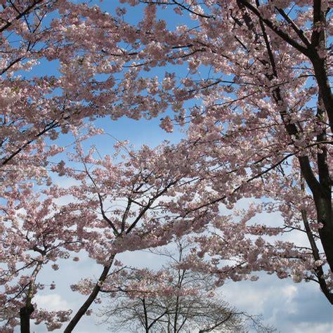 cherry tree b b blackpool cherry blossom city creators vancouver