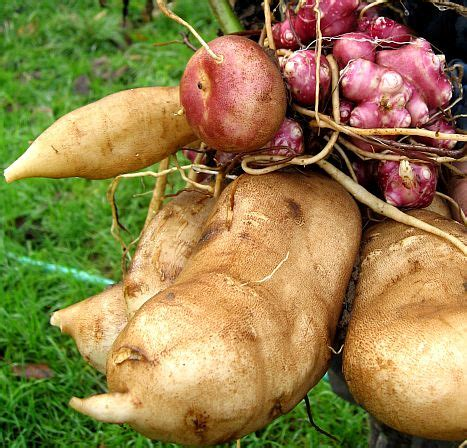 yacon root vegetable yacon root what is yacon and its health benefits
