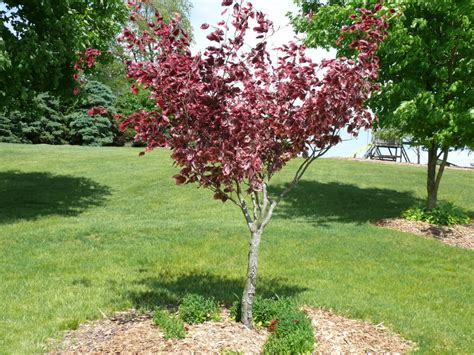 tri color beech tri color beech fagus gro best gardens