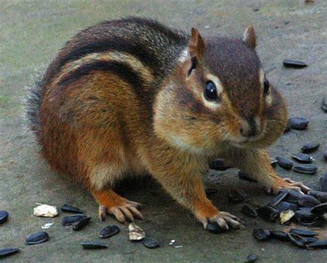 a chipmunk chipmunk