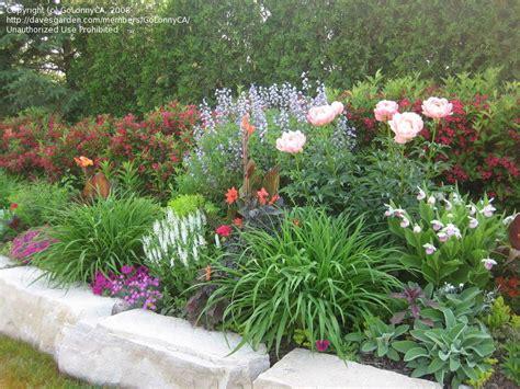 Peony Garden by Plantfiles Pictures Garden Peony Hybrid Species Cross