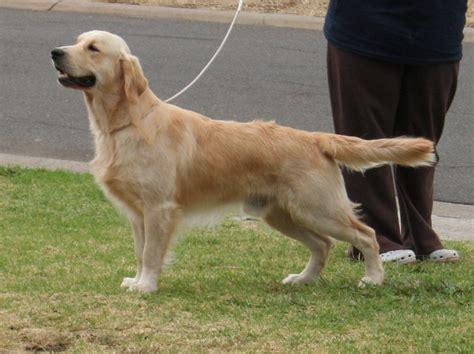 golden retriever 10 months goldshyne golden retrievers